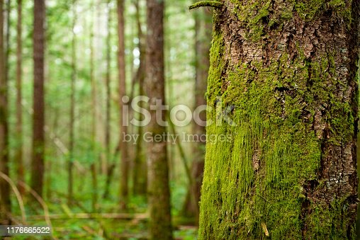 This is a horizontal, color photograph of green moss growing on a tree trunk in the forest on Vancouver Island, Canada.