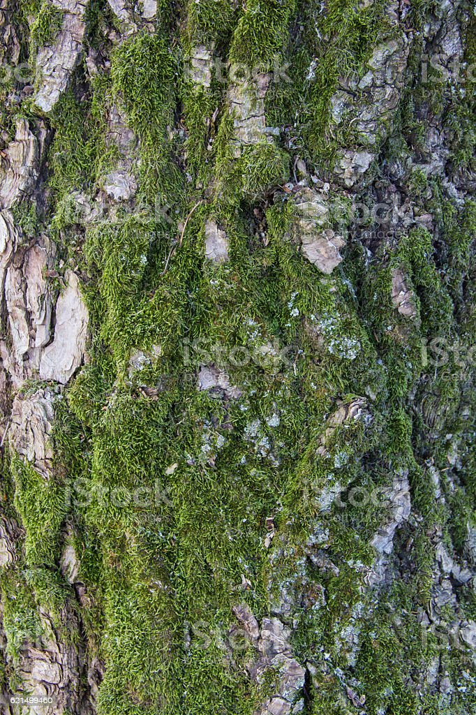 Moss grows heavily on the bark of tree Lizenzfreies stock-foto