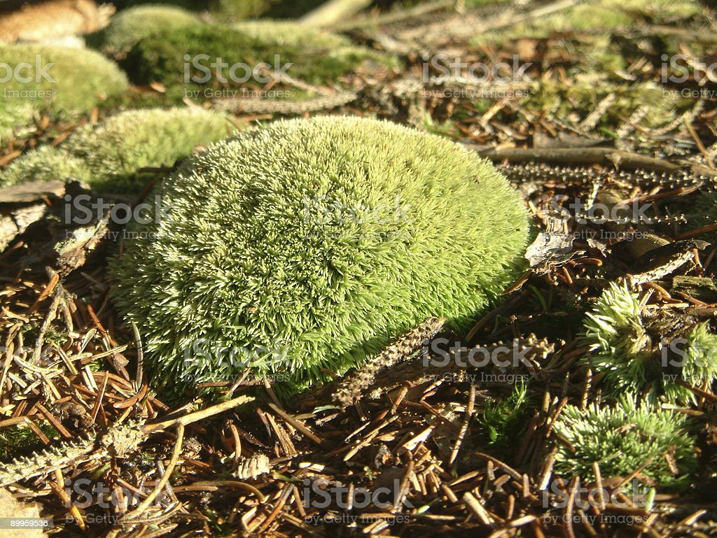moss hedgehog royalty-free stock photo