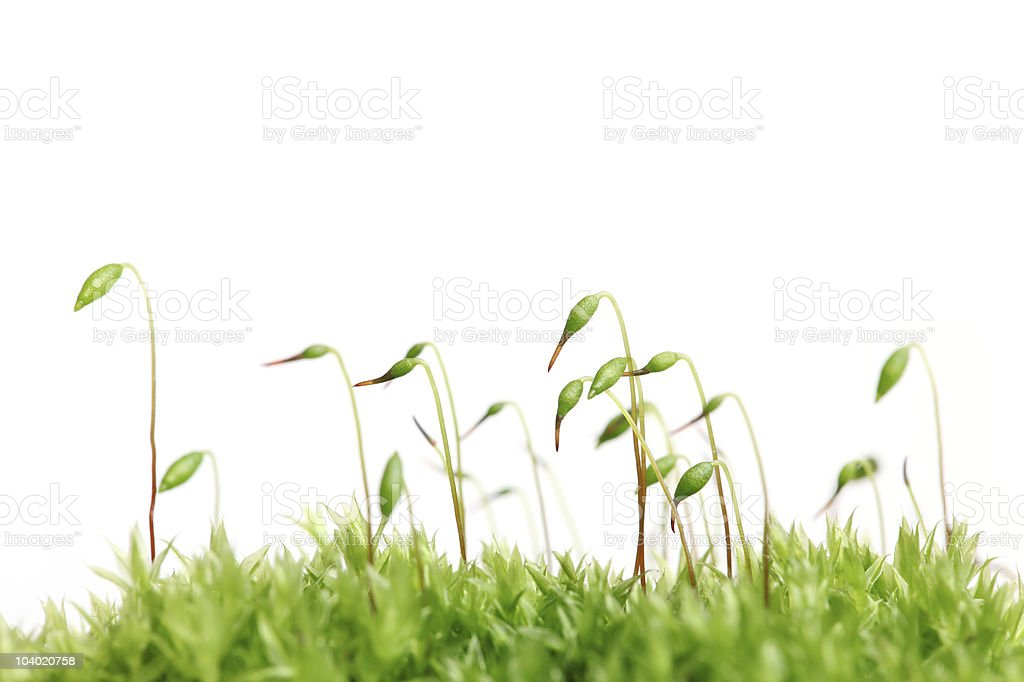 Moss isolated stock photo