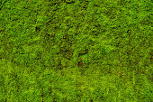 Moss leaves on wall is background