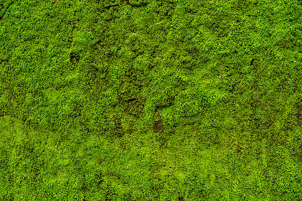 Moss leaves on wall is background - foto de stock