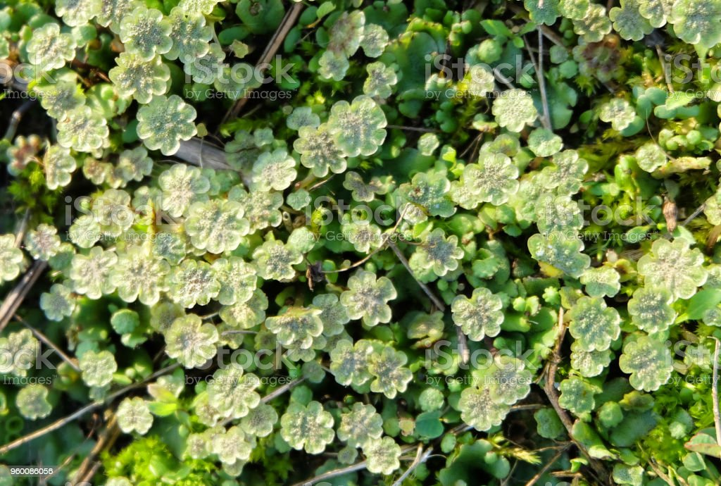 Moss Marchantia stock photo