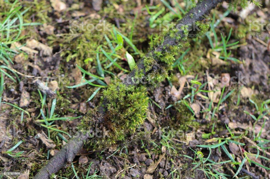 Point de riz sur une branche tombée dans le jardin photo libre de droits