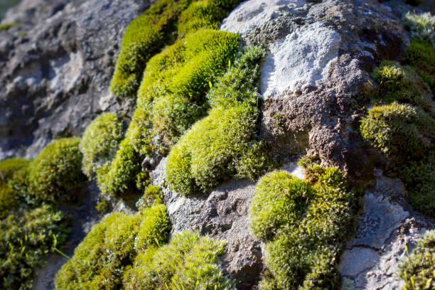 Musgo sobre una superficie de piedra (Bryophyta sensu stricto) - foto de stock