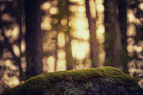 mossa på en sten med varm bakgrund ur fokus - pine forest sweden bildbanksfoton och bilder