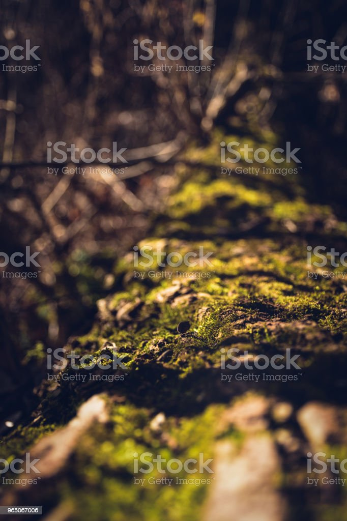 Moss on the cutted tree royalty-free stock photo