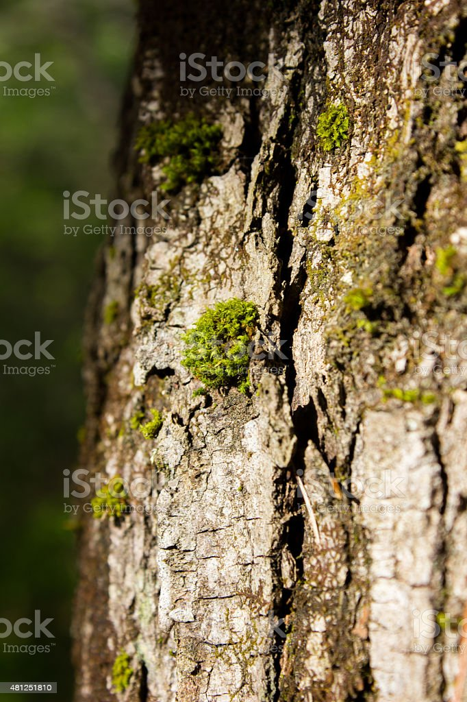 Moss on the Side of a Tree stock photo