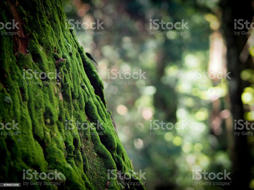 moss on tree in Koyasan with selective focus stock photo