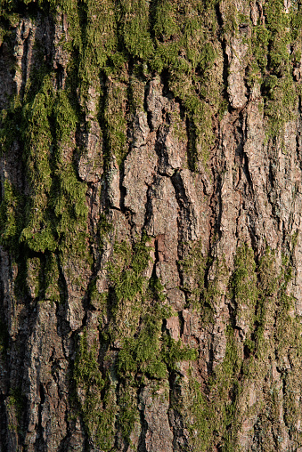 Green moss growing on a tree trunk showing a nice natural pattern and texture.