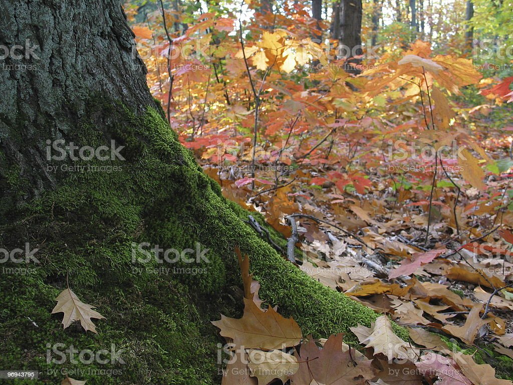 moss on trunk in autumn forest royalty-free stock photo