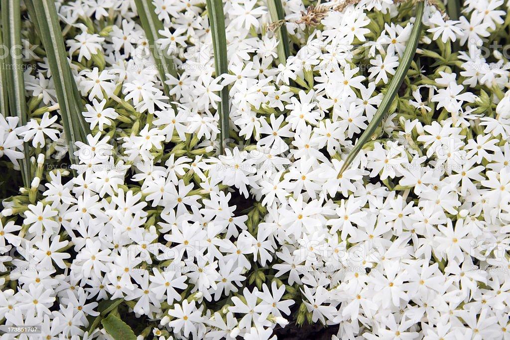 Moss Phlox Flowers stock photo
