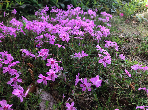 Moss phlox planted in the ground