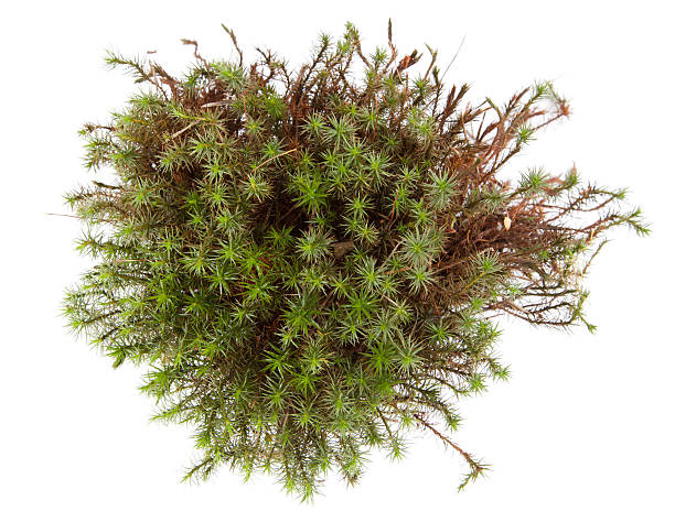 moss - moss stock photos and pictures