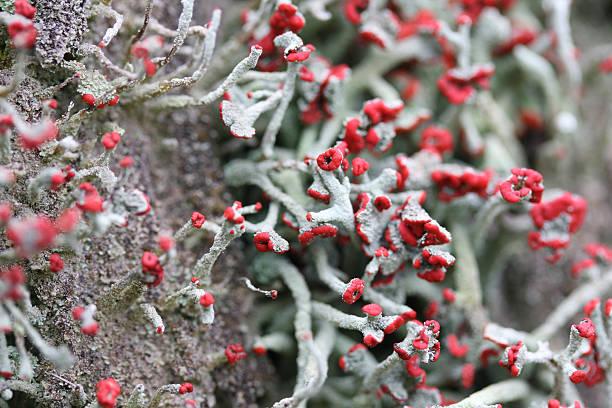 Moss (Cladonia macilenta) stock photo