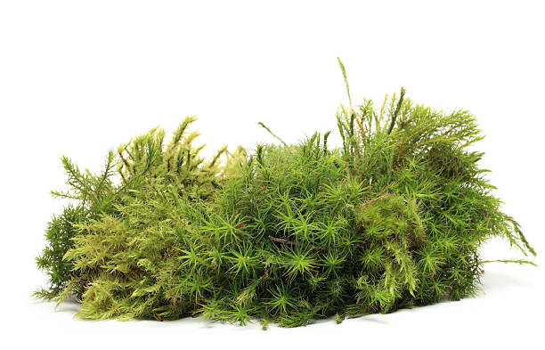 moss - bush stock photos and pictures
