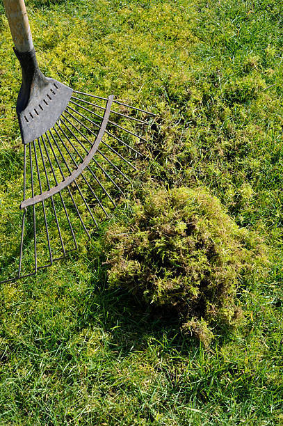 Moss Problem lawn moss being removed from the grass with a spring tine rake. moss stock pictures, royalty-free photos & images