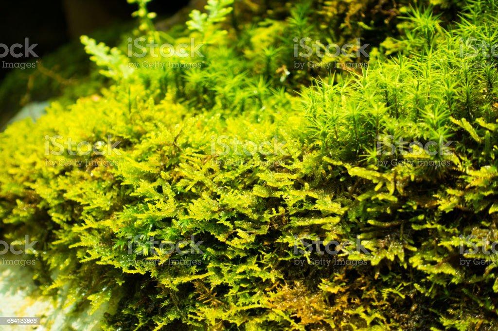 Moss foto stock royalty-free