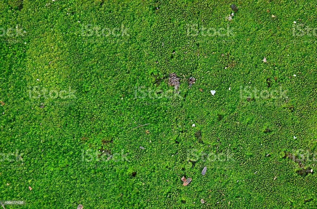Moss plant background stock photo