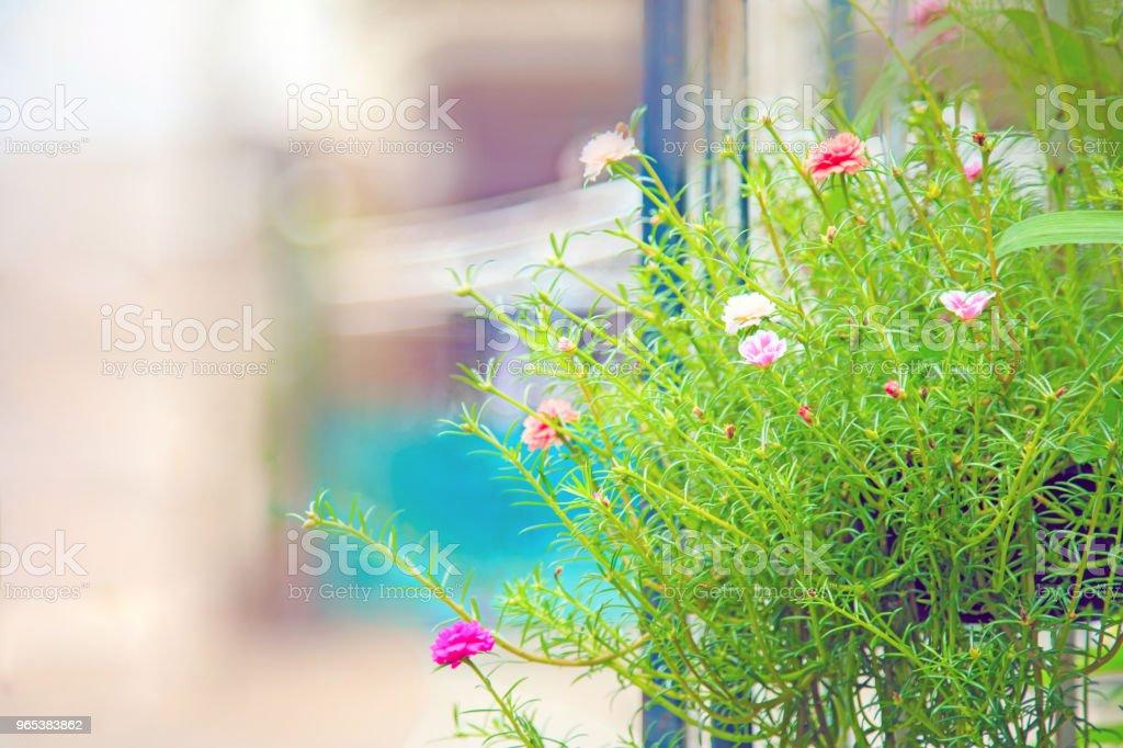 usine de mousse rose sur un pot suspendu à la clôture. - Photo de Arbre en fleurs libre de droits