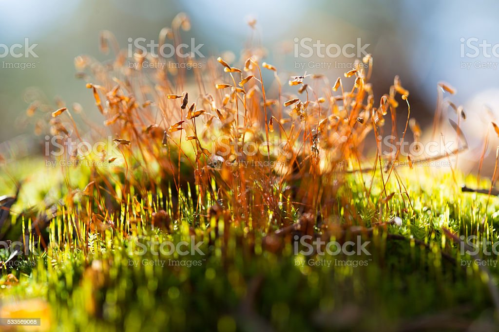 Moss seeds on thw grwwn grass stock photo