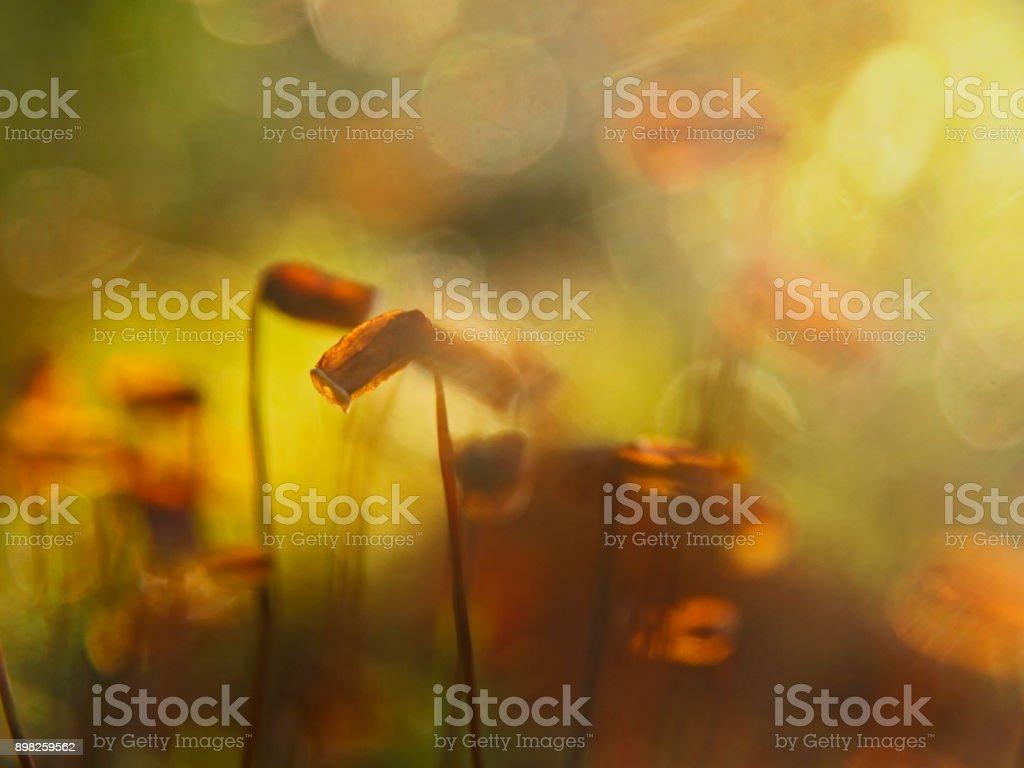 Moss sporangia on blurred background stock photo
