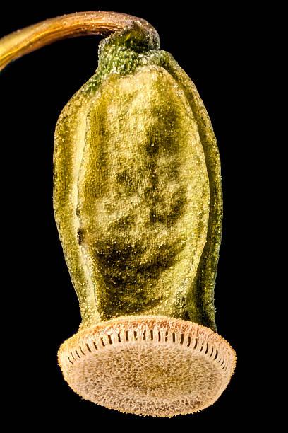 moss spore capsule - Mooskapsel stock photo