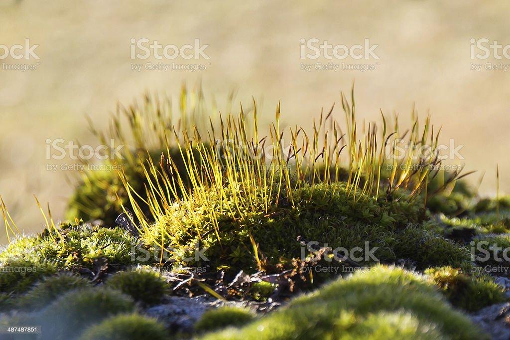 Moss sporophytes - Esporofitos de Musgo stock photo