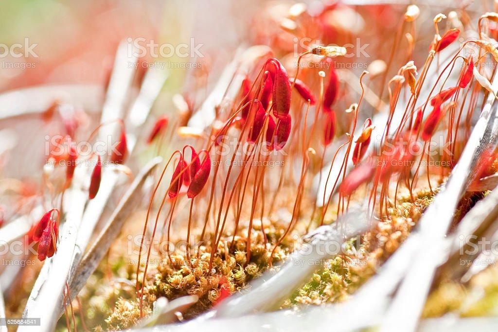 Moss sporophytes macro shot stock photo