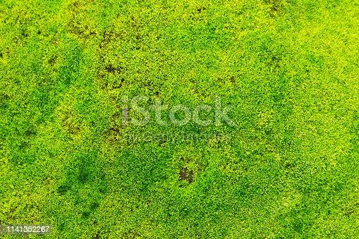 Moss texture background. Green Moss surface
