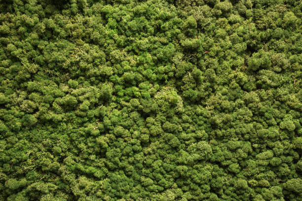 Moss texture. Moss background. Green moss on grunge texture, background Moss texture. Moss background. Green moss on grunge texture, background nature moss stock pictures, royalty-free photos & images