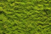 istock Moss texture 186044156