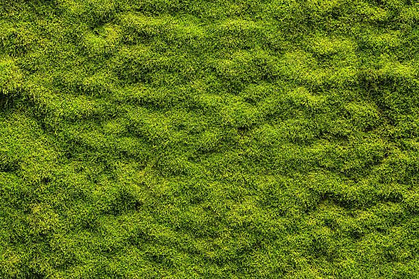 moss texture - moss stock pictures, royalty-free photos & images