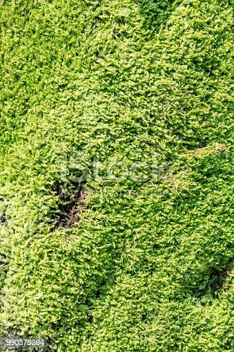 istock Moss textured background 990375264
