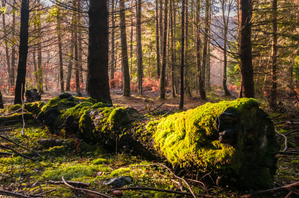 Moss Tree A landscape image of a fallen tree deep in Faskally Wood near Pitlochry, Perth and Kinross, Scotland. December 2011. fallen tree stock pictures, royalty-free photos & images