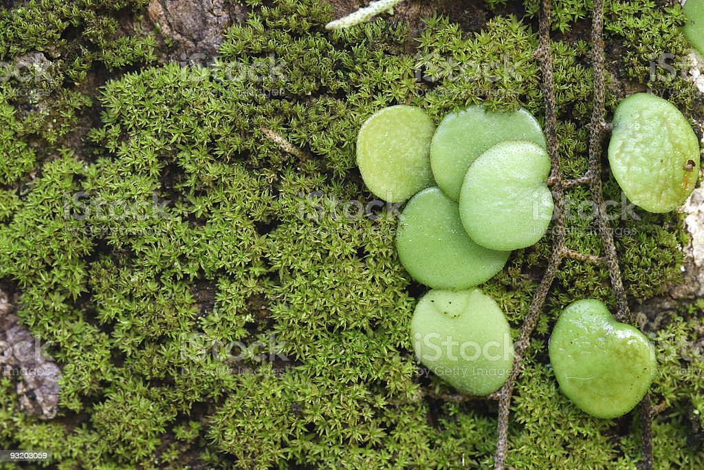Moss with Parasit plant on right stock photo