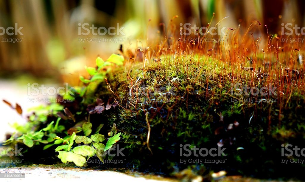 Moss (Bryophyta) with Sporophytes and Clover (Trifolium) stock photo