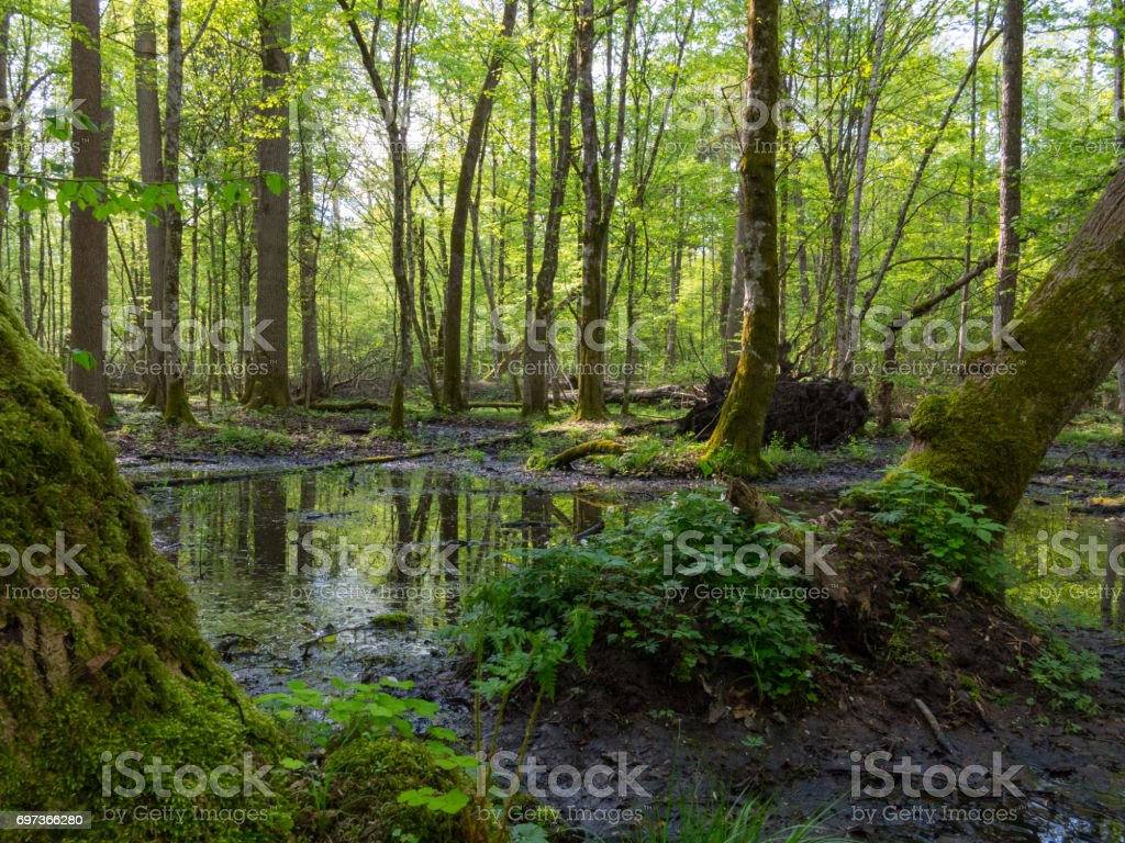 Moss wrapped hornbeams with some sorrel stock photo