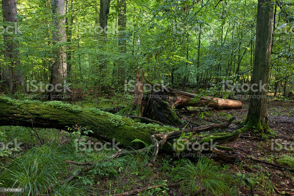 Moss wrapped hornmeam and broken one  lying royalty-free stock photo