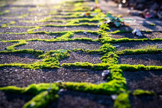Moss_growing_through_brick_paving stock photo