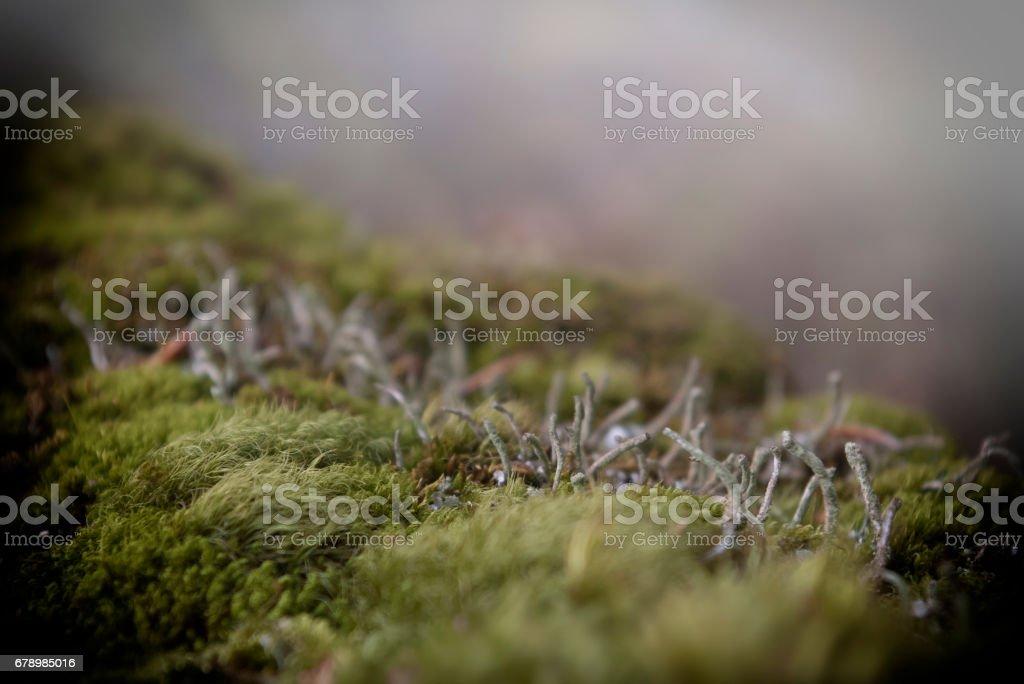 Mosses, lichens, cladonia, macro, close-up photo libre de droits