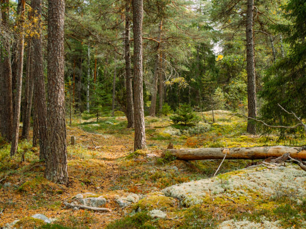 Mossy autumn nordic green rocky forest stock photo