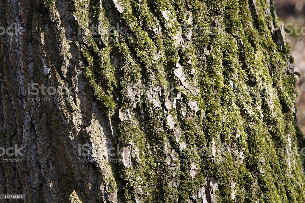 Mossy bark of alerce - foto de stock