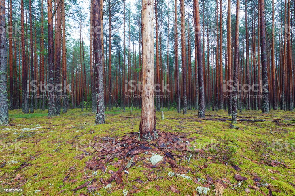 Mossy coniferous forest stock photo