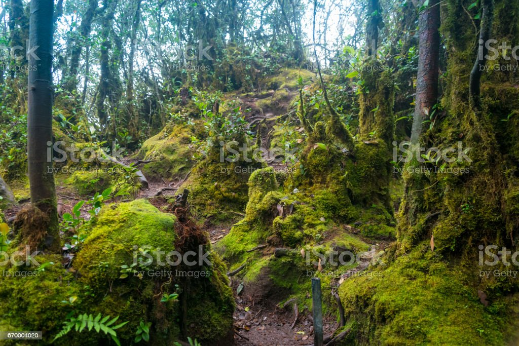 Mossy forest in Cameron Highlands, Malaysia stock photo