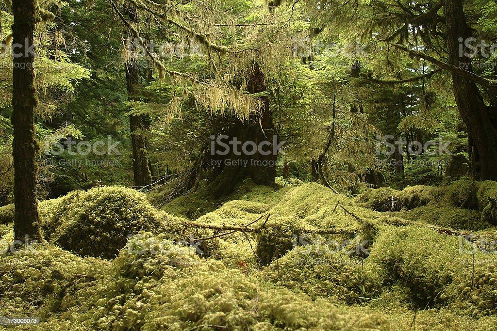 Mossy Forest in Haida Gwaii stock photo