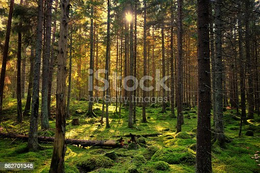 Cozy mossy green forest with warm back-light in the sunset.