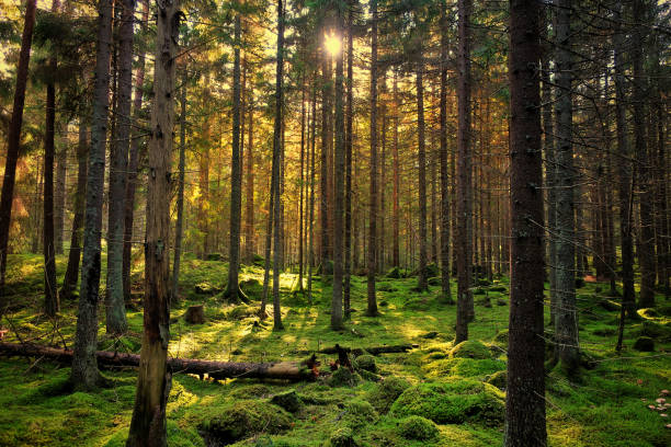 mossy green forest - woodland stock pictures, royalty-free photos & images