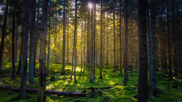 mossig grön skog - pine forest sweden bildbanksfoton och bilder