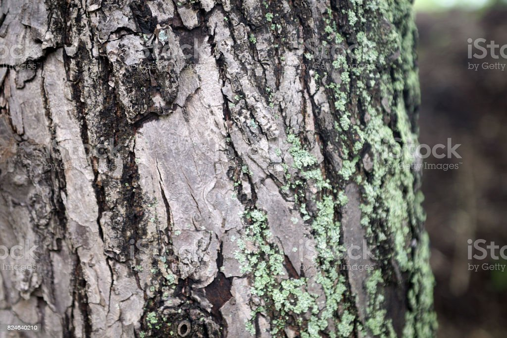 Mossy green gray tree trunk texture royalty-free stock photo